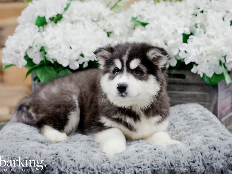 Huskimo-Male-Black / White-2218538-The Barking Boutique