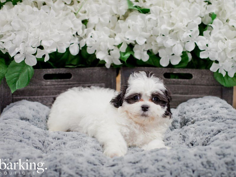 Bichon/Shih Tzu-Male-White / Black-2218488-The Barking Boutique