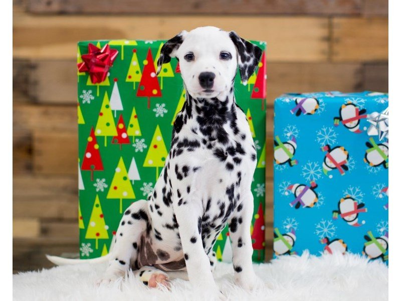 Dalmatian-Female-White / Black-2231115-The Barking Boutique