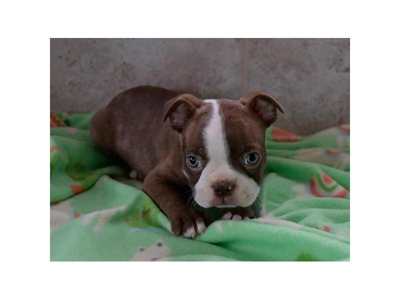 Boston Terrier-Male-Red / White-2235675-The Barking Boutique