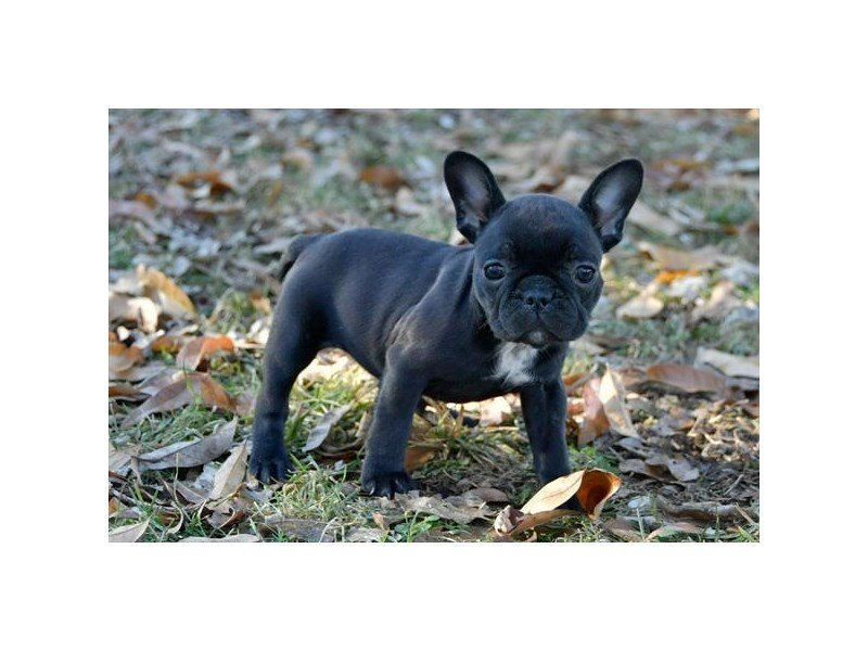 French Bulldog – Moscato
