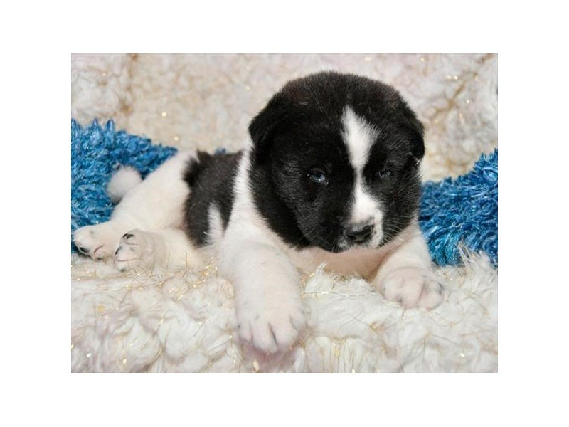 Akita-Male-Black-2235742-The Barking Boutique