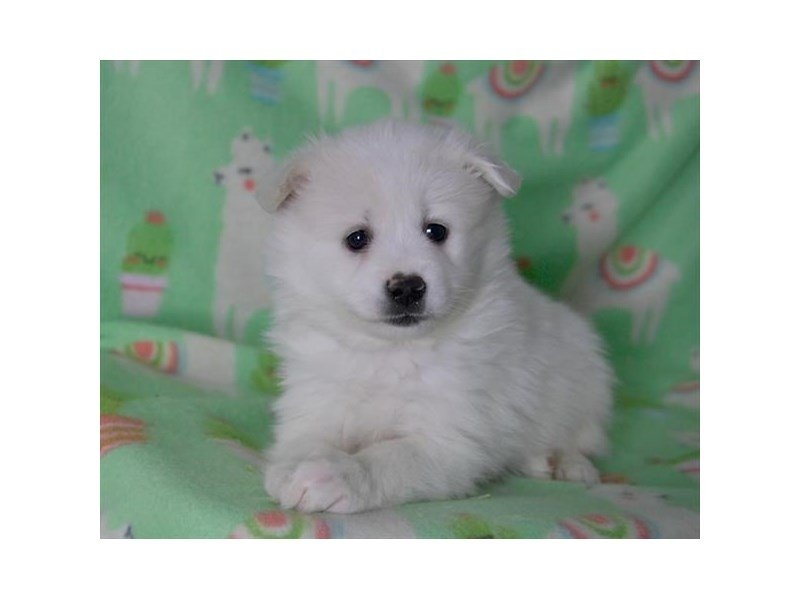 American Eskimo Dog – Georgia
