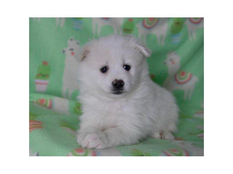 American Eskimo Dog-Female-White-2243020-The Barking Boutique