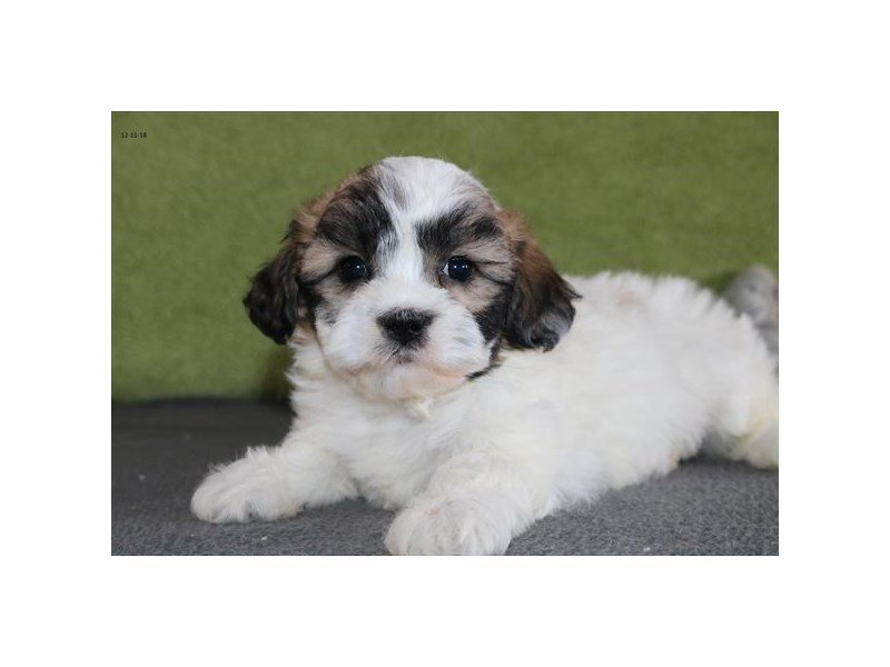 Shih Tzu/Bichon-Female-White / Red-2243025-The Barking Boutique