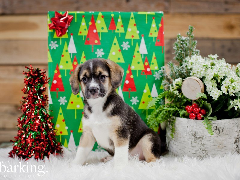 Australian Shepherd/Beagle-Female-Black-2243031-The Barking Boutique