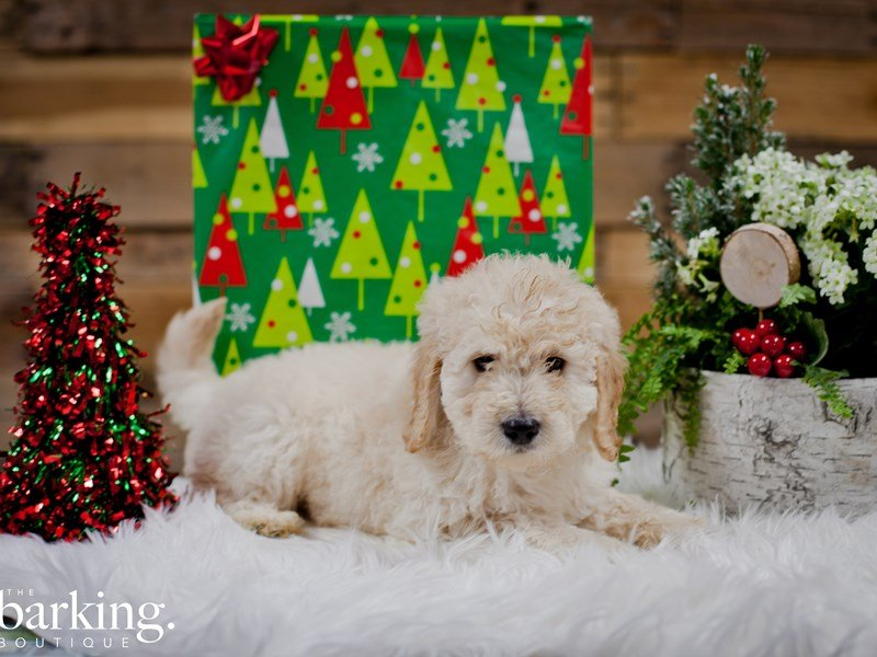 F1B Mini Goldendoodle – Tucker