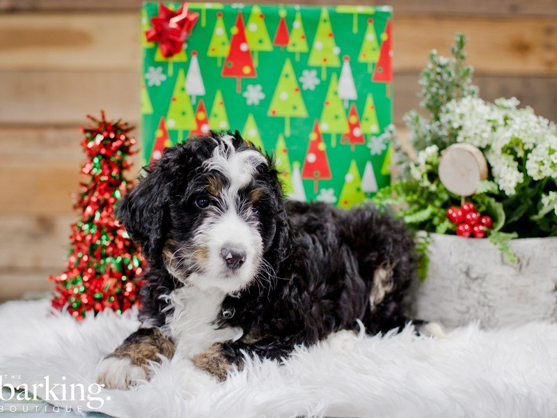 Bernedoodle-Male-Tri color-2243053-The Barking Boutique