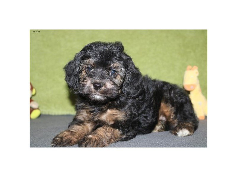 Poodle/Miniature Australian Shepherd-Female-Black / Tan-2246446-The Barking Boutique