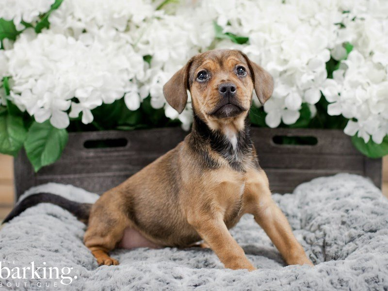 French Bulldog/Beagle-Male-Fawn-2218405-The Barking Boutique