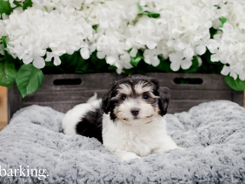 Havanese-Male-Tri Color-2216450-The Barking Boutique