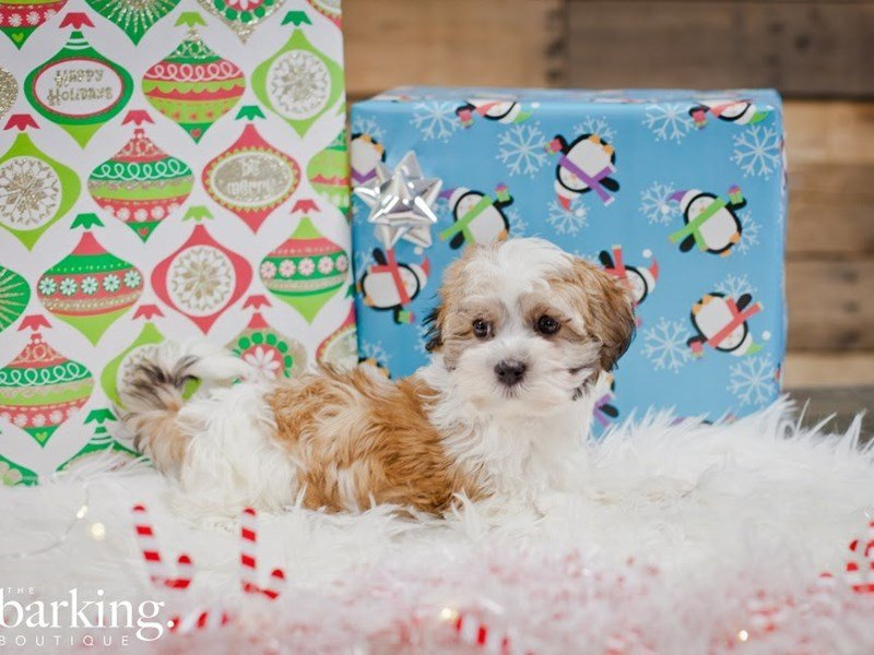 Havanese/Maltese-Male-Parti-2225169-The Barking Boutique