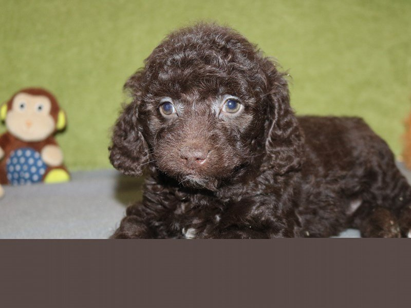 Cocker Spaniel/Poodle-Male-Chocolate-2243048-The Barking Boutique