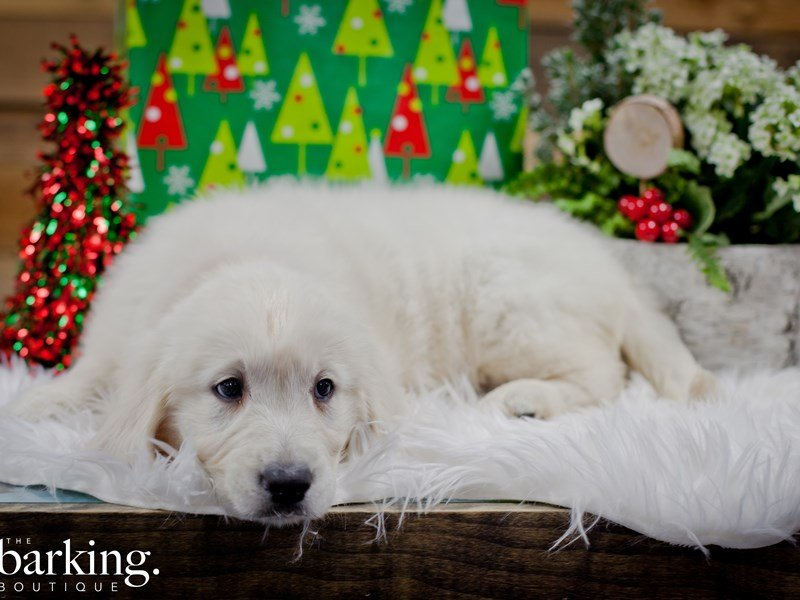 Golden Retriever – Pearl