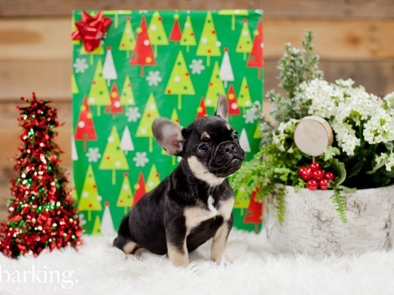 French Bulldog – Hansel