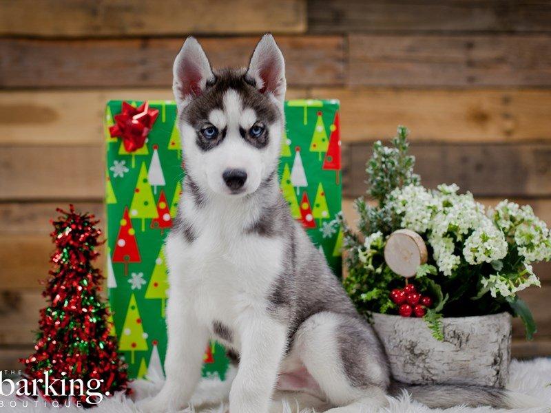 Siberian Husky – Zeke
