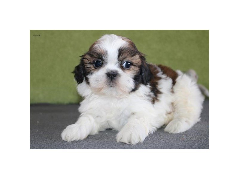 Shih Tzu-Male-Red White / Sable-2246342-The Barking Boutique