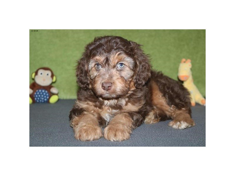 Poodle/Miniature Australian Shepherd-Male-Chocolate / Tan-2246445-The Barking Boutique