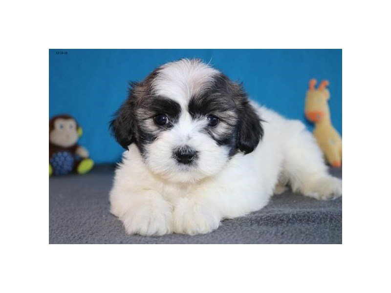 Zuchon-Female-Sable / White-2246448-The Barking Boutique
