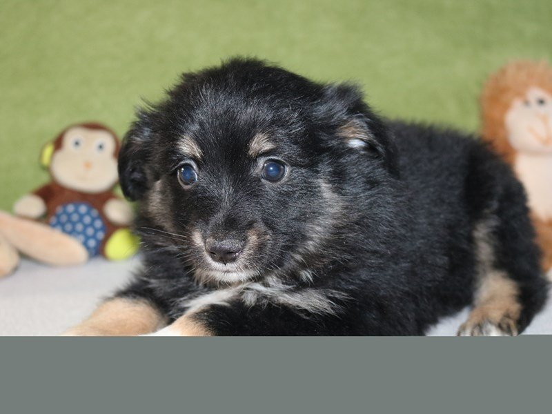 Australian Shepherd-Male-Black Tan / White-2246449-The Barking Boutique
