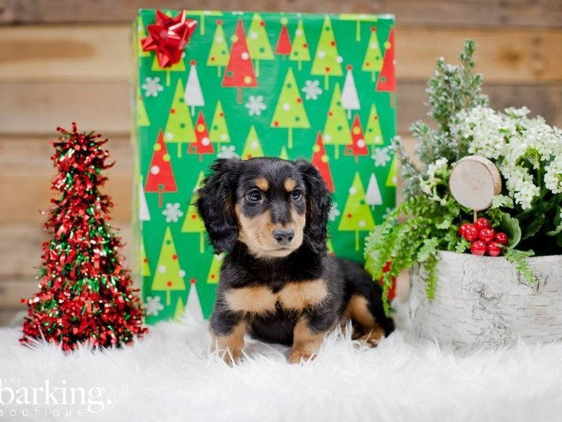 Dachshund-Male-Black / Tan-2231110-The Barking Boutique