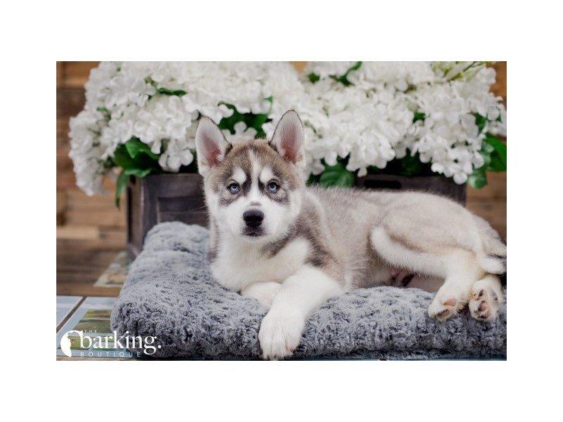Siberian Husky – Zodiac