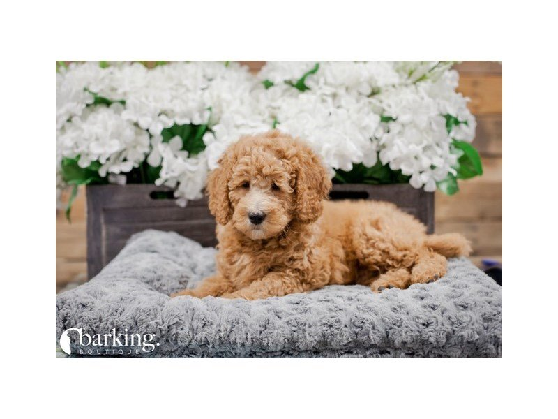 Goldendoodle Mini 2nd Gen-Male-Red-2246451-The Barking Boutique