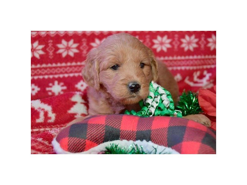 Goldendoodle Mini – Hattie