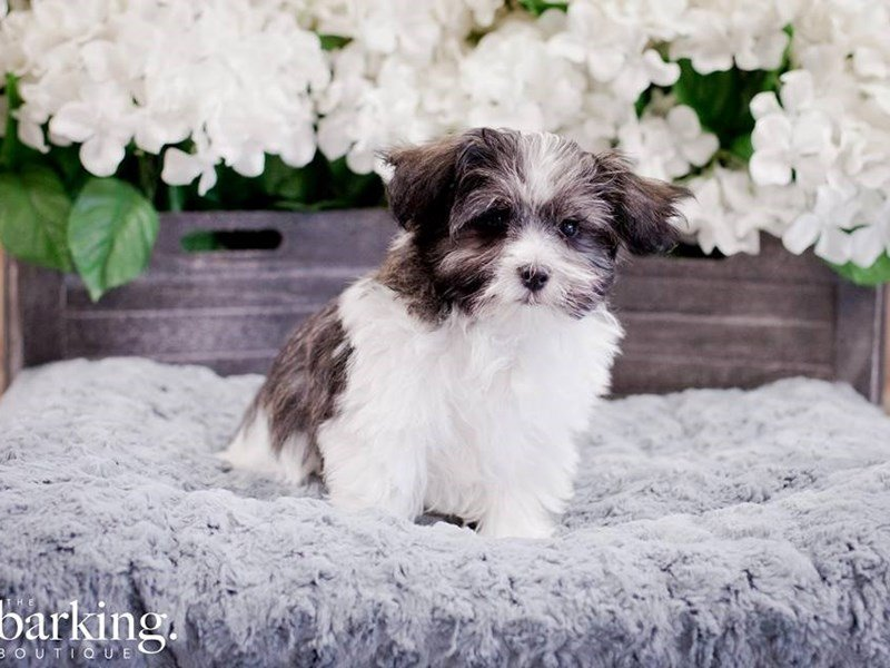 Maltese/Havanese-Male-Black and white-2254816-The Barking Boutique
