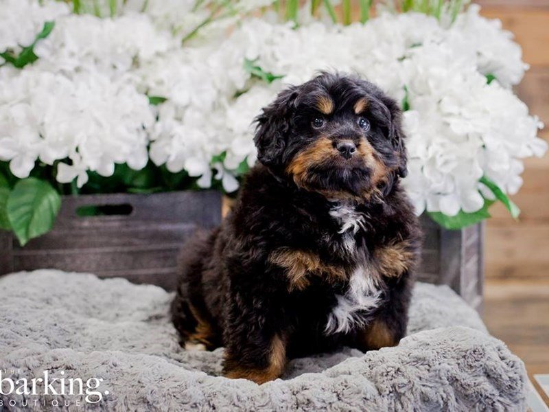 Mini Bernedoodle-Male-Tri Color-2254299-The Barking Boutique