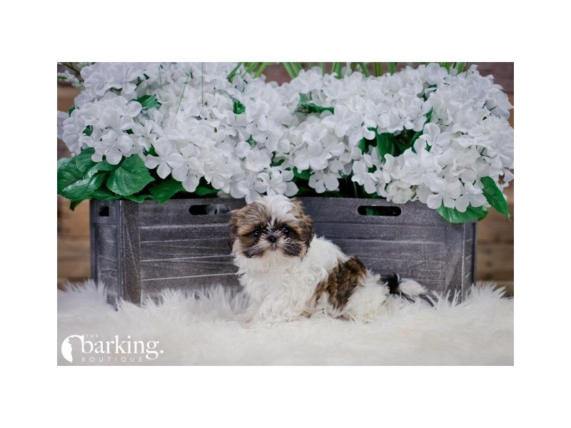 Shih Tzu-Female-Sable / White-2257042-The Barking Boutique