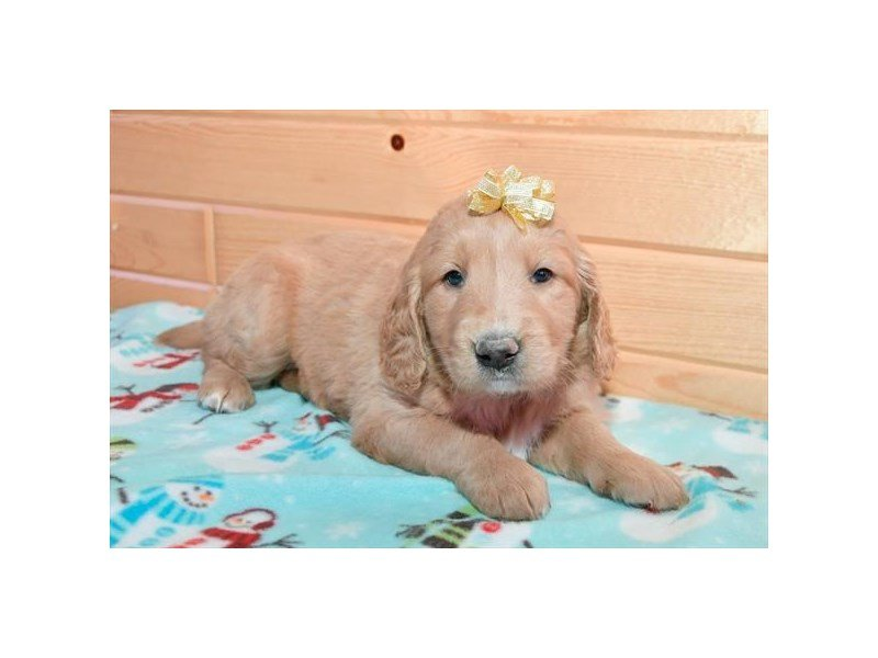 Goldendoodle – Snow White