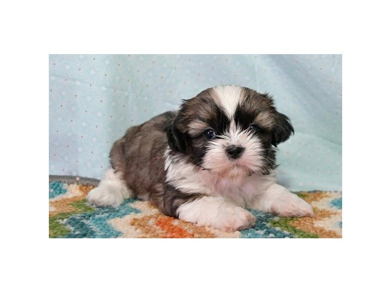 Shih Tzu-Male-Red / White-2231109-The Barking Boutique