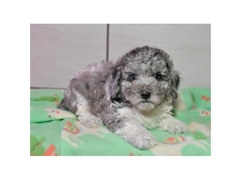 Poodle-Male-Gray / White-2243022-The Barking Boutique