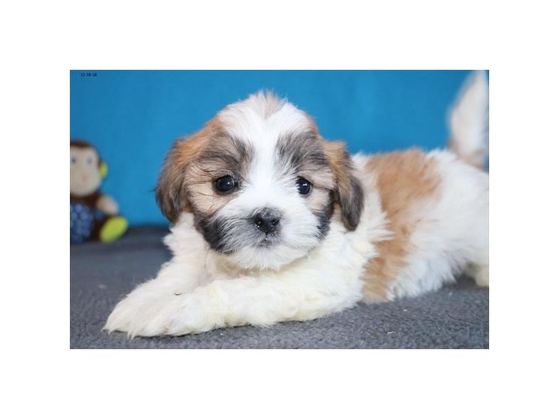 Zuchon-Female-Sable / White-2246447-The Barking Boutique
