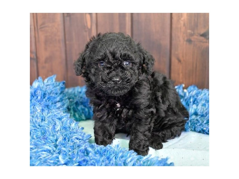 Poodle-Male-Black-2263100-The Barking Boutique