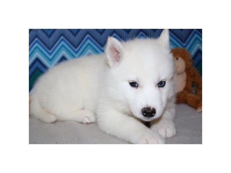 Siberian Husky – Sunshine