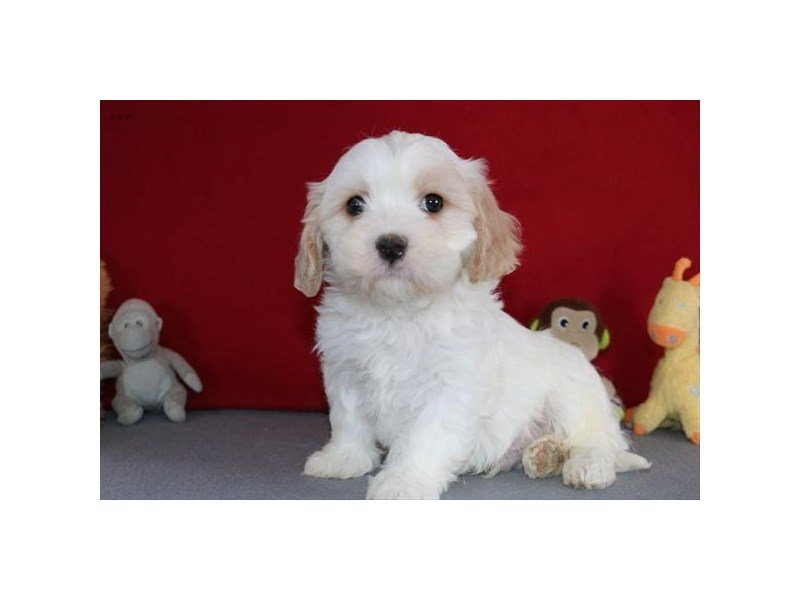 Cavachon-Male-Cream / White-2272971-The Barking Boutique