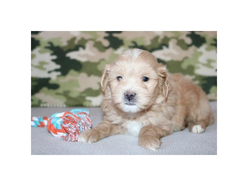 Goldendoodle Mini 2nd Gen – Crush