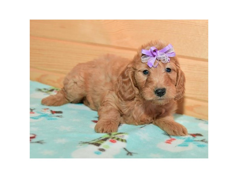 Goldendoodle Mini 2nd Gen-Female-Red-2278106-The Barking Boutique