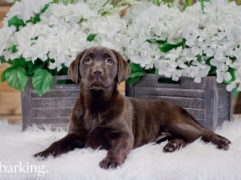 Labrador Retriever-Female-Chocolate-2272968-The Barking Boutique