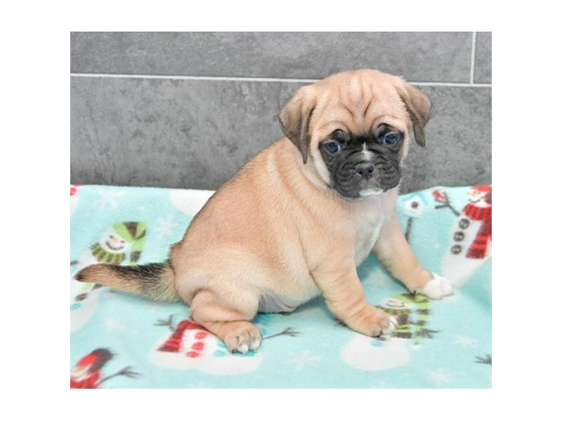 Puggle-Male-Fawn-2283650-The Barking Boutique
