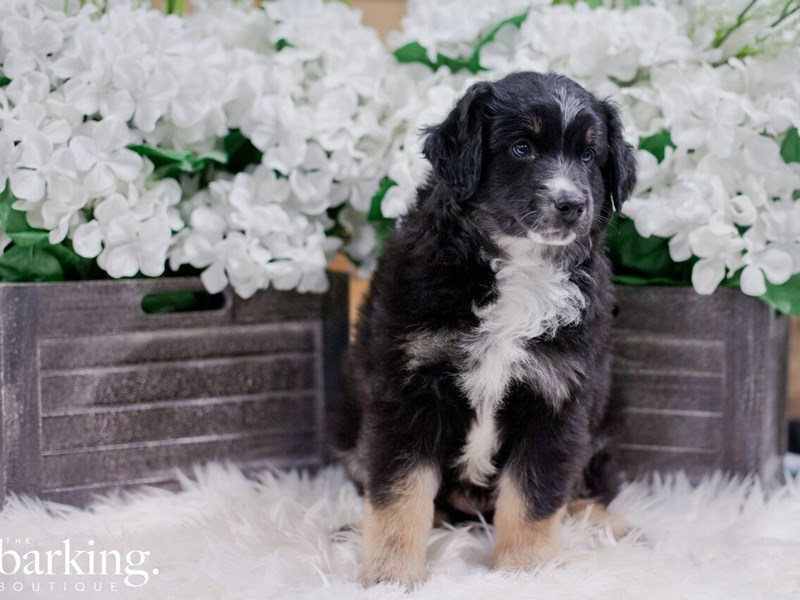 Mini Australian Shepherd – King Tut
