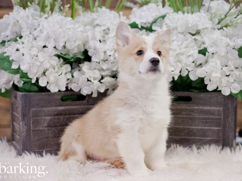 Pembroke Welsh Corgi-Male-Red / White-2283628-The Barking Boutique