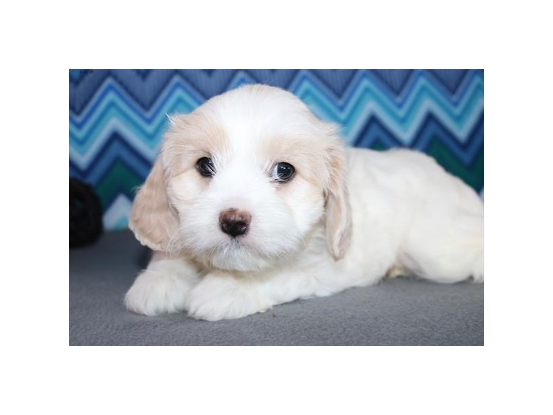Cavachon-Female-White-2289185-The Barking Boutique