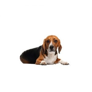 The Barking Boutique American Foxhound