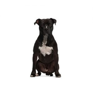 The Barking Boutique American Staffordshire Terrier