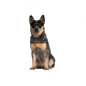 The Barking Boutique Australian Cattle Dog
