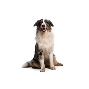 The Barking Boutique Australian Shepherd