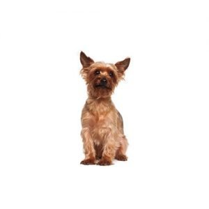 The Barking Boutique Australian Terrier